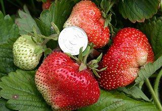 Cорт клубники гигантелла, как выращивать, особенности ухода, фото ... | 220x320