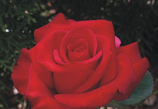 роза кардинал описание и фото