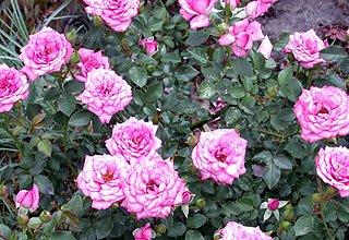 Штамбовая роза цена