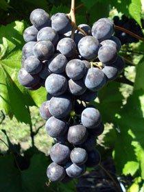 виноград Гриф