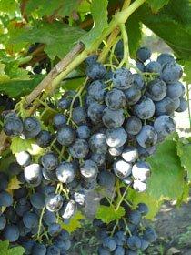 Подарок медовый сорт винограда 60