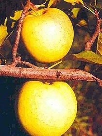 Купить саженцы плодовых деревьев цена