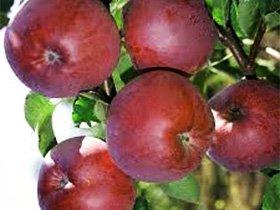 Саженцы плодовых деревьев купить Украина