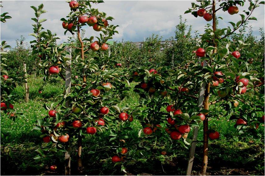 Питомник плодовых саженцев