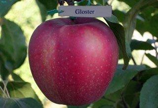 Глостер