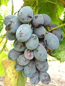 виноград Блек Гранд