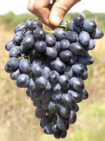 виноград Д-200
