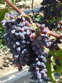 виноград Кишмиш Юпитер (США)