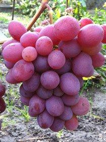 виноград Водограй