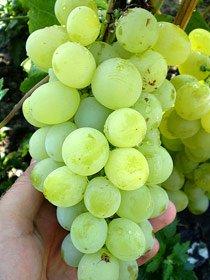виноград Златогор