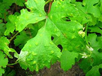 фитоптус, болезни винограда