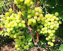 Где купить саженцы винограда