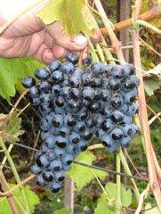 Каталог саженцев винограда