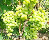 Купить саженцы винограда питомник