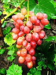Купить саженцы винограда в питомнике Украина