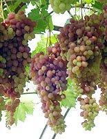 Питомники саженцев винограда