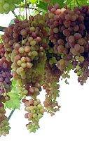 Саженцы винограда почтой