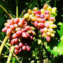 Саженцы винограда Украины