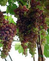 Виноград саженцами сорта