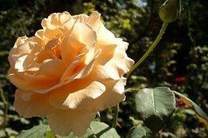 Чайная роза купить саженцы