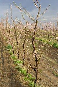 Саженцы плодовых деревьев Киев